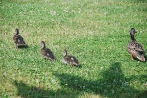 duckfamily